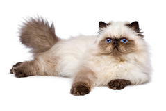Cute 3 month old persian seal colourpoint kitten is lying Royalty Free Stock Photo