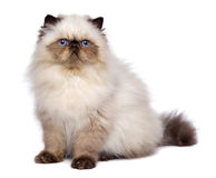 Cute 3 month old persian seal colourpoint kitten is sitting Stock Photos