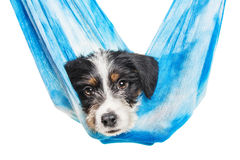 Cute 1 month old wire haired jack russell mix puppy Stock Photography