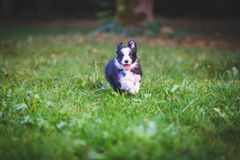 Border collie puppy running. Cute 2 months border collie is running on the field. Action royalty free stock photo