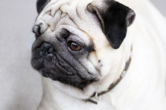 Cute mops portrait Royalty Free Stock Photos