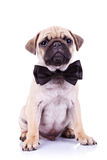 Cute mops puppy dog with neck bow Stock Photo