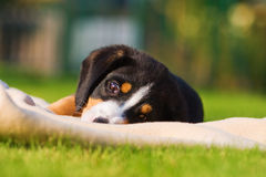 Cute mountain dog puppy on a blanket Royalty Free Stock Images