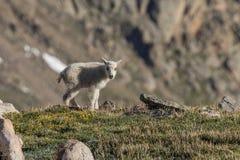 Cute Mountain Goat Kid in the Alpine. A mountain goat kid in the Colorado mountains Stock Image