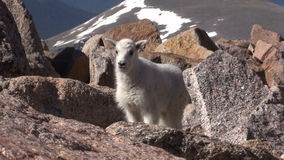 Cute Mountain Goat Kid. A mountain goat kid in the Colorado mountains stock footage