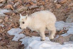 Mountain goat kid in rocks Stock Image