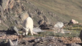 Cute Mountain Goat Kid. A cute mountain goat kid in the rugged Colorado high country stock video