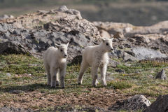 Cute Mountain Goat Kids Stock Photography