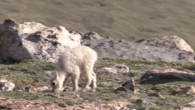 Cute Mountain Goat Kids. A pair of cute mountain goat kids in the Colorado mountains stock video footage