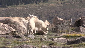 Cute Mountain Goat Kids. A pair of cute mountain goat kids in the rugged Colorado high country stock video footage
