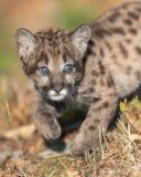 Cute mountain lion cub. Portrait stock photos