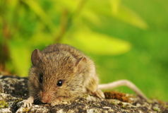 Cute mouse climbing up Stock Photos