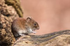 Cute mouse nibbling at a sunflower seed Royalty Free Stock Images