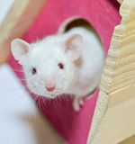 Cute Mouse In Playhouse Royalty Free Stock Photo