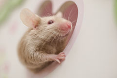 Cute mouse rat rodent looking out of the window Royalty Free Stock Photography