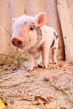 Cute muddy piglet on the farm Stock Photos