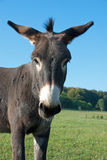 Cute mule Royalty Free Stock Images