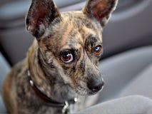 Brindle dog looking at camera. Cute multi-colored Chihuahua mix dog looking up at camera Stock Photos