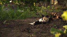 Cute multicolor kitten lies on the ground in the garden in sunset light. Fluffy pet comfortably settled to rests on nature stock video
