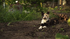 Cute multicolor kitten lies on the ground in the garden in sunset light. Fluffy pet comfortably settled to rests on nature. Cute multicolor kitten lies on the stock footage