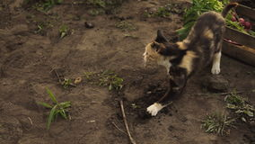 Cute multicolor kitten plays on the ground in the garden in sunset light. stock video footage