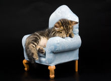 Cute Munchkin kitten sleeping Royalty Free Stock Photography