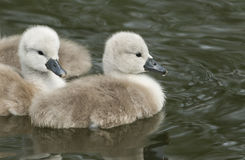 Cute Mute Swan Cygnets Cygnus olor swimming in a stream. Royalty Free Stock Photography