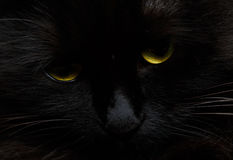 Cute muzzle of a black cat close up royalty free stock image