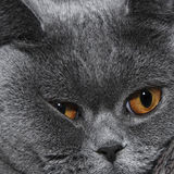 Cute muzzle of gray British cat Stock Photo
