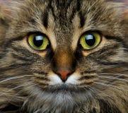 Cute muzzle tabby cat Stock Photos