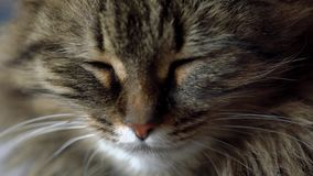 Cute muzzle of a tabby domestic cat close up. Lovely muzzle of a tabby domestic cat close up stock video footage