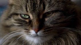Cute muzzle of a tabby domestic cat close up