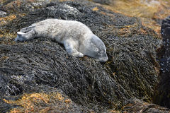Cute Napping Seal Pup on Seaweed in Maine. Adorable seal pup napping on a bunch of seaweed in Maine Stock Photo