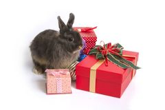 Cute netherland dwarf rabbit with gift boxes. Cute netherland dwarf rabbit sitting among christmas balls and gift boxes on white background Royalty Free Stock Photo