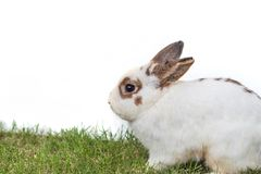 Cute Netherlands dwarf bunny on green grass with white backgroun. D Royalty Free Stock Image