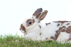 Cute Netherlands dwarf bunny on green grass with white backgroun. D Stock Photo
