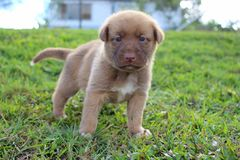Cute New Guinea Singing Dog puppy. A cute brown New Guinea Singing Dog mix puppy with blue eyes and a pink nose standing in the grass stock images