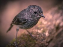 Cute New Zealand robin looking in camera. Cute new zealand North Island Robin (Petroica longipes) looking in the camera stock images
