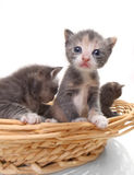 Cute Newborn Baby Kittens Easily Isolated on White Royalty Free Stock Photos