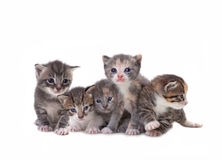 Cute Newborn Baby Kittens Easily Isolated on White Royalty Free Stock Photography