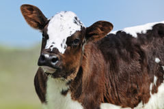 Cute newborn calf in spring outside Royalty Free Stock Photos
