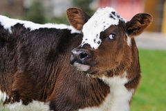 Cute newborn calf in spring outside Royalty Free Stock Images