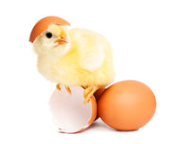 Cute newborn chicken with eggs Royalty Free Stock Photography