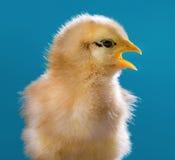 Cute newborn chicken Stock Images