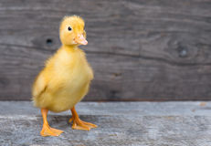 Cute newborn duckling Royalty Free Stock Photos