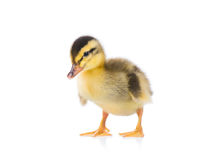 Cute newborn duckling Royalty Free Stock Photography