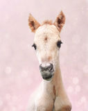 Cute newborn foal on a pink background Royalty Free Stock Images