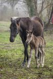 Cute newborn foal walking next to its mother in a foggy autumn morning royalty free stock photo