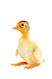 Cute newborn funny duck. Isolated Royalty Free Stock Photos