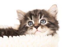 Cute newborn kitten royalty free stock photos